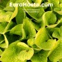 Hosta Gold - Eurohosta