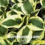 Hosta Piedmont Gold - Eurohosta