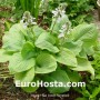 Zelená Hosta Eurohosta