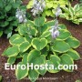 Hosta Abiqua Moonbeam - Eurohosta