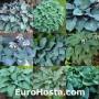 Hosta Blue