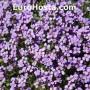 Aubrieta × cultorum