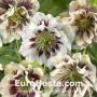 Helleborus orientalis Double Ellen Spotted White
