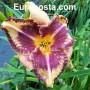 Hemerocallis Alexander Hay
