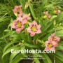 Hemerocallis Always Afternoon - Eurohosta