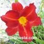 Hemerocallis Amadeus -  Eurohosta