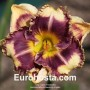 Hemerocallis Answering Angels - Eurohosta
