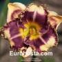 Hemerocallis Answering Angels - Eurohosta