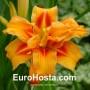Hemerocallis Apricot Beauty - Eurohosta