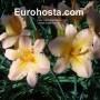 Hemerocallis Artist Etching - Eurohosta