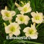 Hemerocallis Astolat - Eurohosta