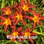 Hemerocallis Autumn Red - Eurohosta