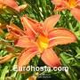 Hemerocallis Babičkina - Eurohosta