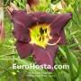 Hemerocallis Bela Lugosi - Eurohosta