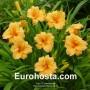 Hemerocallis Bertie Ferris - Eurohosta