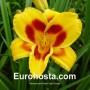 Hemerocallis Black Eyed Susan - Eurohosta