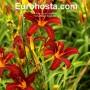 Hemerocallis Black Prince - Eurohosta