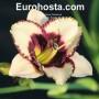 Hemerocallis Border Music - Eurohosta