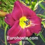 Hemerocallis Buffalo Steak - Eurohosta