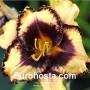 Hemerocallis Calico Jack - Eurohosta