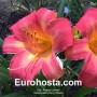 Hemerocallis Cherry Cheeks