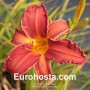 Hemerocallis Cherry Lace - Eurohosta