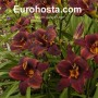Hemerocallis Chocolate Candy - Eurohosta