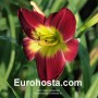 Hemerocallis Christmas Is - Eurohosta