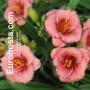 Hemerocallis Cosmopolitan - Eurohosta