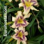 Hemerocallis Destined To See - Eurohosta