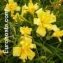 Hemerocallis Double Klondike - Eurohosta