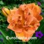 Hemerocallis Doublelicious