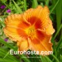Hemerocallis Duke of Durham