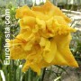 Hemerocallis Dynamic Duo