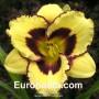 Hemerocallis El Desperado - Eurohosta
