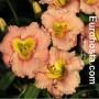 Hemerocallis Elegant Candy - Eurohosta