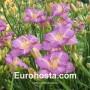 Hemerocallis Elisabeth Salter - Eurohosta