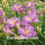Hemerocallis - Eurohosta