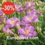 Hemerocallis Entrapment - Eurohosta