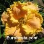 Hemerocallis Evelyn Kloeris - Eurohosta