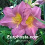 Hemerocallis Evening Rose - Eurohosta