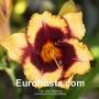 Hemerocallis Eye On America - Eurohosta