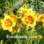 Hemerocallis Fooled Me - Eurohosta