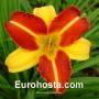 Hemerocallis Frans Hals - Eurohosta