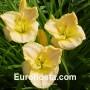 Hemerocallis Glacier Bay - Eurohosta