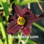 Hemerocallis Grape Velvet - Eurohosta
