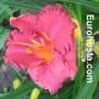 Hemerocallis Hermitage Darwin - Eurohosta