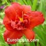 Hemerocallis Highland Lord - Eurohosta