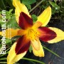 Hemerocallis Indian Sky