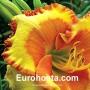 Hemerocallis Irresistible Charm - Eurohosta